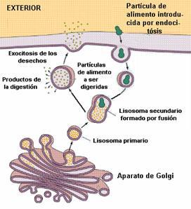 Circulacion en los seres vivos circulaci n celular - Alimentos para la circulacion ...
